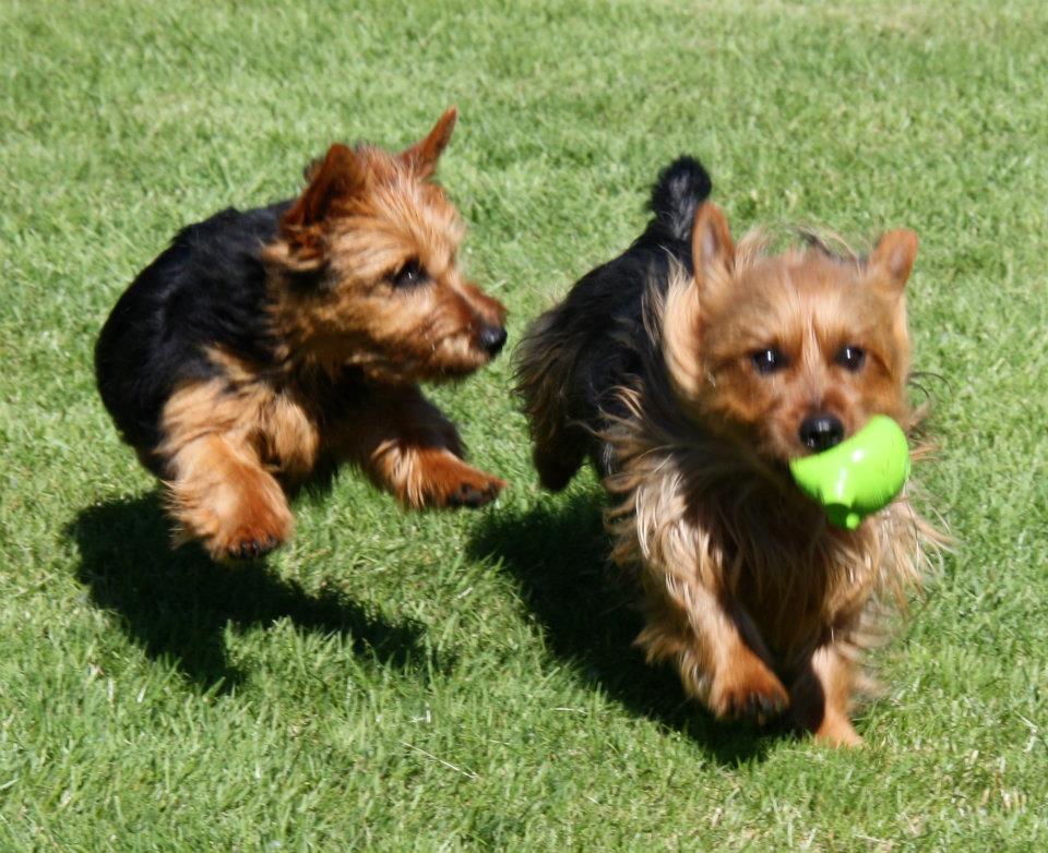 Terrier breeders washington state