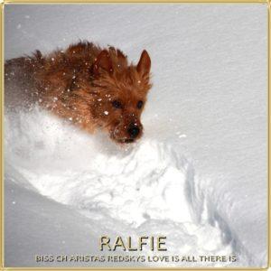Ralfie Arista Australian Terriers