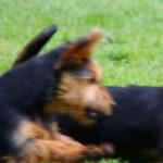 Australian Terrier Breeders Australian Terrier Puppies Australian Terrier Breeders In Washington State Australian Terrier Breeders in Oregon State Australian Terrier Breeders in Colorado State Australian Terrier Rescue Australian Terrier Club of America Australian Terrier International